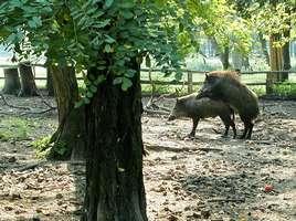Bilder - Best of 2002 - wildschwein-schweinereien
