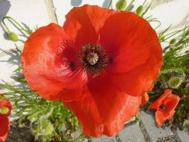Bilder - Best of 2010 - mohn-rot
