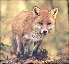 Pixel-Evolution - Fuchs als Jäger